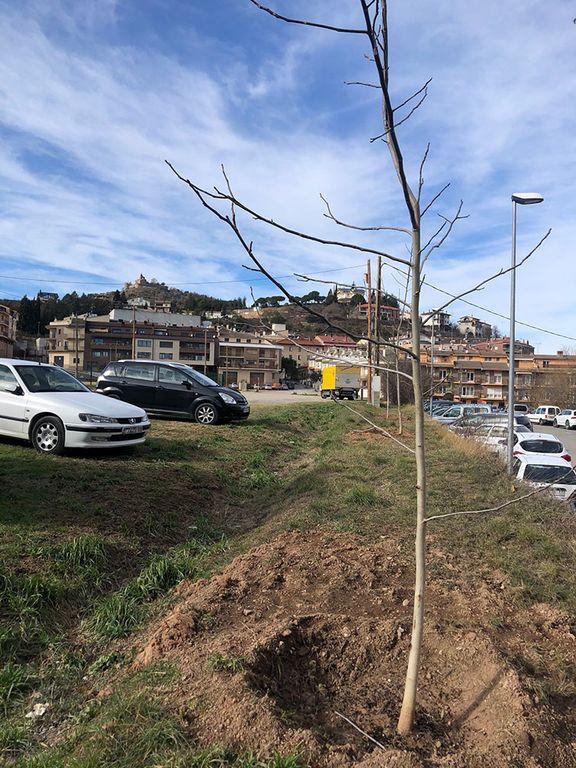 Trasplanten noguers al Camp del Serra procedents d'una finca particular