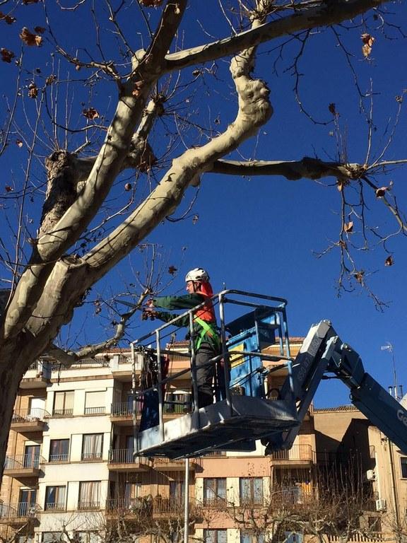 S'inicia la campanya de poda a Solsona amb nous criteris per millorar la gestió de l'arbrat urbà